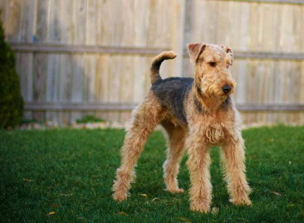 Airedale terjers